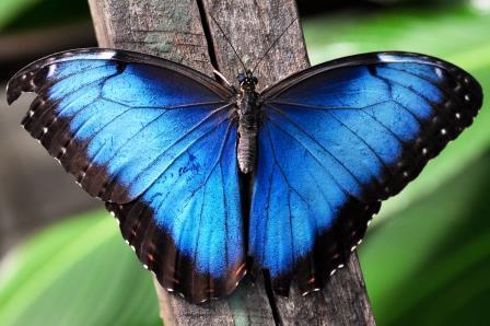 Blue_Morpho butterfly