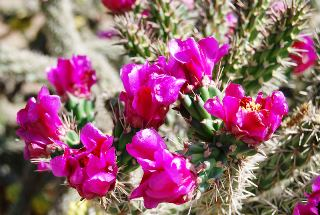 cholla blooming