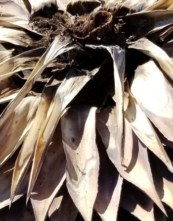 The base and leaves of a dead agave