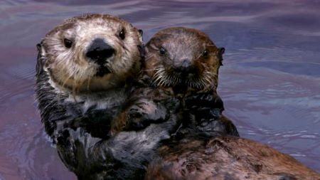 Two sea otters in the water, hugging