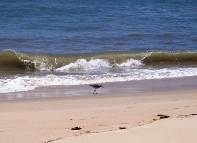 Outer Banks beach with killdeer