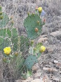 a prickly pear cactus in bloom